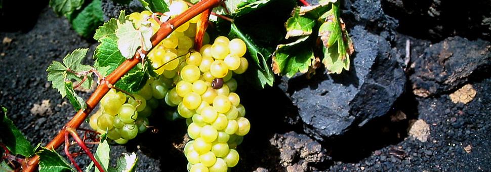 VARIÉTÉS PRÉ-PHYLLOREXIQUESLa quasi-totalité de notre vignoble est plantée sans greffe dû au fait que La Palma avait été épargnée de l\'attaque de la phylloxéra (peste provenant d\'Amérique du Nord, qui frappa le vignoble européen à la fin du XVIIIème siècle), en conservant l\'île ces variétés apportées par les conquistadors et futurs colonisateurs en 1505. Beaucoup de ces variétés ancestrales ont disparu dans leurs régions d\'origine.