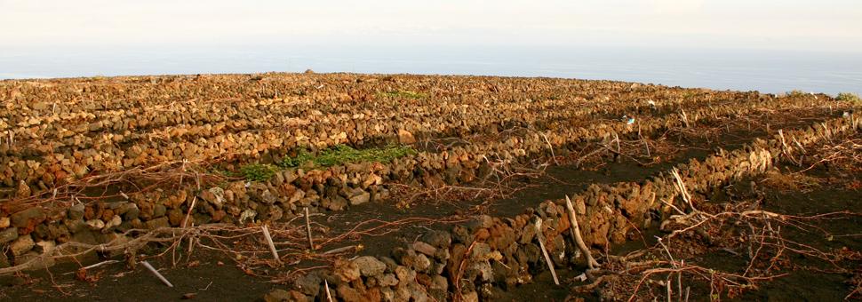 TERRAINS VOLCANIQUESLes vignobles se trouvent sur des versants à forte pente, sur lesquels on a construit des carrés de petite surface, grâce à des travaux, pour le moins, spectaculaires. Historiquement, on a tiré profit des sols les plus pauvres et marginaux pour la culture de la vigne, réservant les meilleures terres pour les cultures de première nécessité comme les céréales, les pommes de terre, etc. L\'agriculteur de La Palma, par des efforts sans précédent, a su transformer ses scories volcaniques en terres productives.